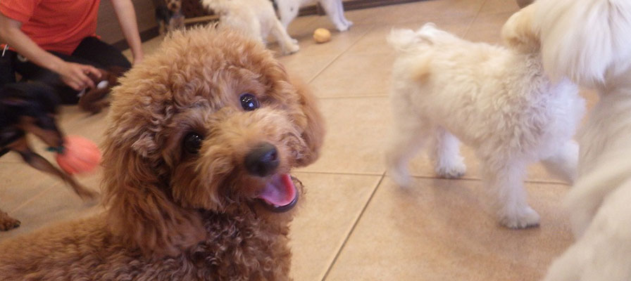 子犬の社会化学習「パピーパーティー」
