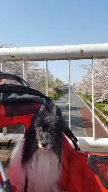 桜と犬の写真