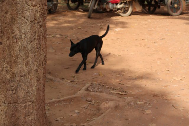 カンボジアの犬2