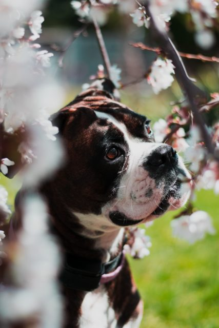 犬と桜の写真