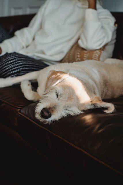 犬と人が共にソファでくつろぐ写真