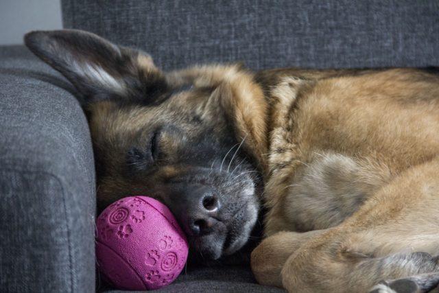 犬が寝ている写真